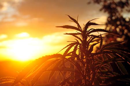 A Pure Marijuana Play for a Growing Market